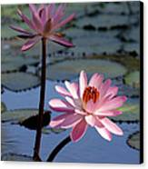 Pink Water Lily In The Spotlight Canvas Print by Sabrina L Ryan
