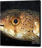 Porcupine Fish Canvas Print by Sami Sarkis