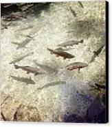 Rainbow Trout Canvas Print by Les Cunliffe