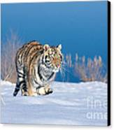 Siberian Tiger Canvas Print by Alan Carey