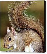 Eastern Gray Squirrel Canvas Print by Millard H. Sharp