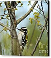 Hairy Woodpecker Canvas Print by Linda Freshwaters Arndt
