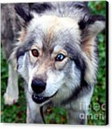 Miley The Husky With Blue And Brown Eyes Canvas Print by Doc Braham