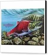 Sockeye Salmon Canvas Print by JQ Licensing