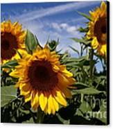 3 Sunflowers Canvas Print by Kerri Mortenson