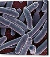 E Coli Bacteria Sem Canvas Print by Ami Images