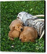 Golden Retriever Puppies Canvas Print by Linda Freshwaters Arndt