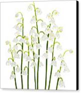 Lily-of-the-valley Flowers  Canvas Print by Elena Elisseeva