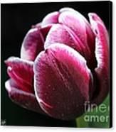 Triumph Tulip Named Jackpot Canvas Print by J McCombie