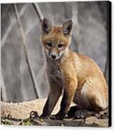 A Cute Kit Fox Portrait 1 Canvas Print by Thomas Young