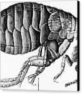 A Flea From Microscope Observation Canvas Print by Robert Hooke