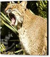 Adult Florida Bobcat Canvas Print by Anne Rodkin