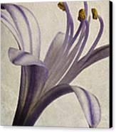 Agapanthus Africanus Star Canvas Print by John Edwards