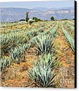 Agave Cactus Field In Mexico Canvas Print by Elena Elisseeva