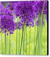 Allium Hollandicum Purple Sensation Flowers Canvas Print by Tim Gainey
