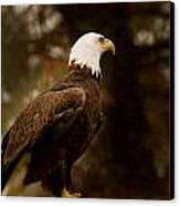 American Bald Eagle Awaiting Prey Canvas Print by Douglas Barnett
