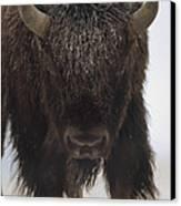 American Bison Portrait Canvas Print by Tim Fitzharris