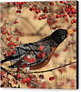 American Robin Eating Winter Berries Canvas Print by Inspired Nature Photography Fine Art Photography