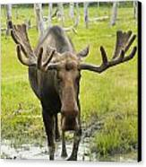 An Elk Standing In A Puddle Of Water Canvas Print by Doug Lindstrand