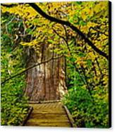 An Old Growth Douglass Fur In The Grove Of The Patriarches Mt Rainer National Park Canvas Print by Jeff Swan