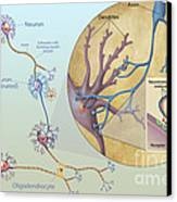 Anatomy Of Neurons Canvas Print by Carlyn Iverson