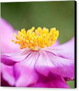 Anemone Flower Close Up Canvas Print by Natalie Kinnear