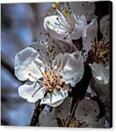 Apple Blossoms Canvas Print by Robert Bales