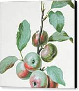 Apples Canvas Print by Pierre Joseph Redoute