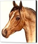 Arabian Horse Head Study Canvas Print by Julia Sweda