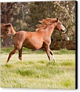 Arabian Horse Running Free Canvas Print by Michelle Wrighton