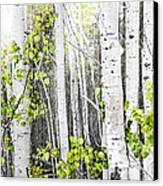 Aspen Grove Canvas Print by Elena Elisseeva