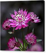 Astrantia Hadspen Blood Flower Canvas Print by Tim Gainey
