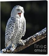 Awakened- Snowy Owl Laughing Canvas Print by Inspired Nature Photography Fine Art Photography