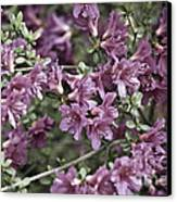 Azalea Canvas Print by Frank Tschakert