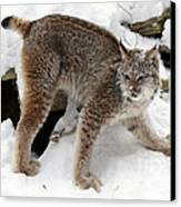 Baby Canadian Lynx Leaving The Winter Den Canvas Print by Inspired Nature Photography Fine Art Photography