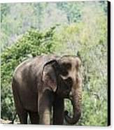 Baby Elephant Chiang Mai, Thailand Canvas Print by Stuart Corlett