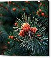 Baby Pinecones Canvas Print by Julie Dant