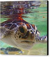 Baby Turtle Canvas Print by Carey Chen