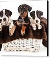 Basket Of Rottweiler Mixed Breed Puppies Canvas Print by Susan  Schmitz