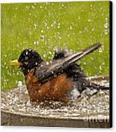 Bathing Robin Canvas Print by Inge Riis McDonald