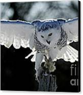 Beauty In Motion- Snowy Owl Landing Canvas Print by Inspired Nature Photography Fine Art Photography
