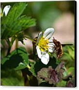 Bee Fly On White Flowers Canvas Print by Christina Rollo