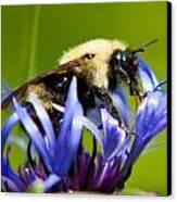 Bee On A Blue Flower Canvas Print by Matt Dobson