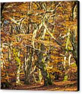 Beech Tree Group In Autumn Light Canvas Print by Martin Liebermann