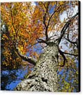 Big Orange Maple Tree Canvas Print by Christina Rollo