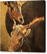 Bighorn Sheep Of The Arkansas River  Canvas Print by Priscilla Burgers