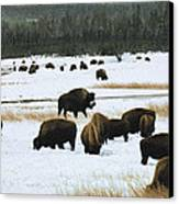 Bison Cows Browsing Canvas Print by Kae Cheatham