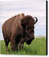 Bison On The Prairie Canvas Print by Olivier Le Queinec