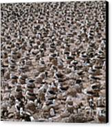 Black-browed Albatross Nesting Colony Canvas Print by Art Wolfe