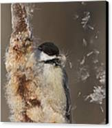 Black-capped Chickadee In Winter Canvas Print by Mircea Costina Photography
